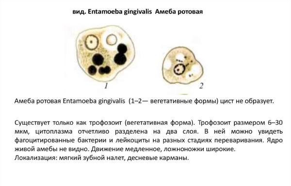rotovaya-ameba-2.jpg