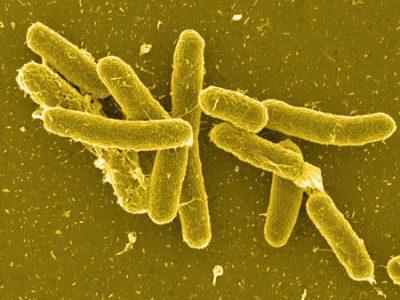 Бактерии из рода сальмонелл