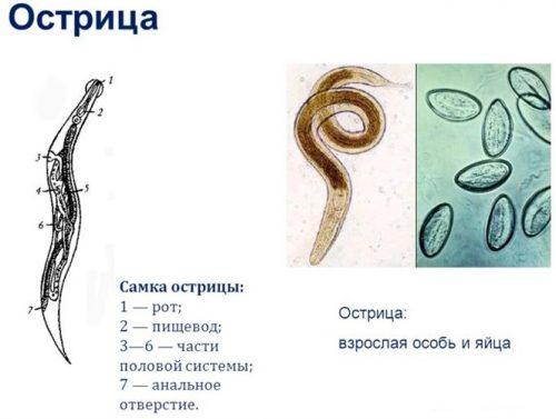 samka-ostritsyi-500x377.jpg