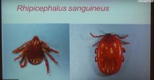 sangvineus-300x157.png