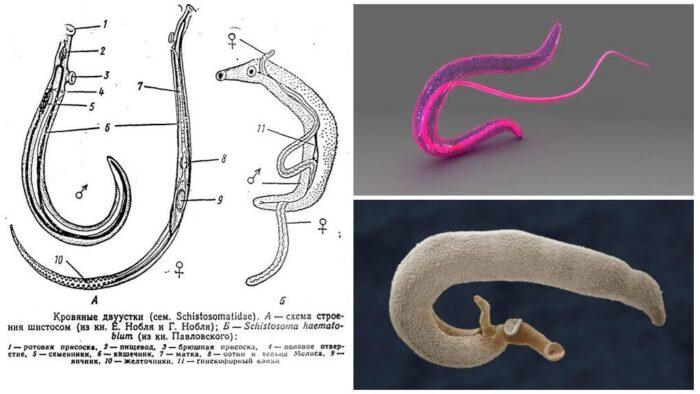 schistosoma.jpg