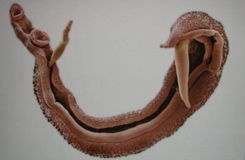 schistosomiasis-worm.jpg