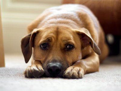 Собака при отравлении