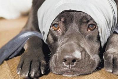 Диагностика отравления собаки крысиным ядом