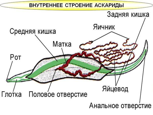 stroenie-askaridy.jpg