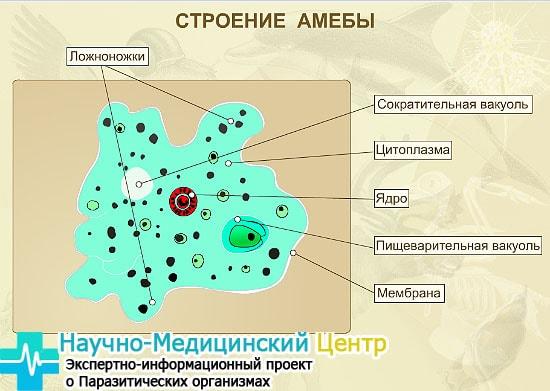 stroenie_amebu_gemoparazit_w62-min.jpg