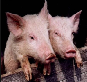 свиньи-300x283.png