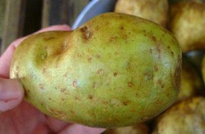 Если картофель позеленел что делать