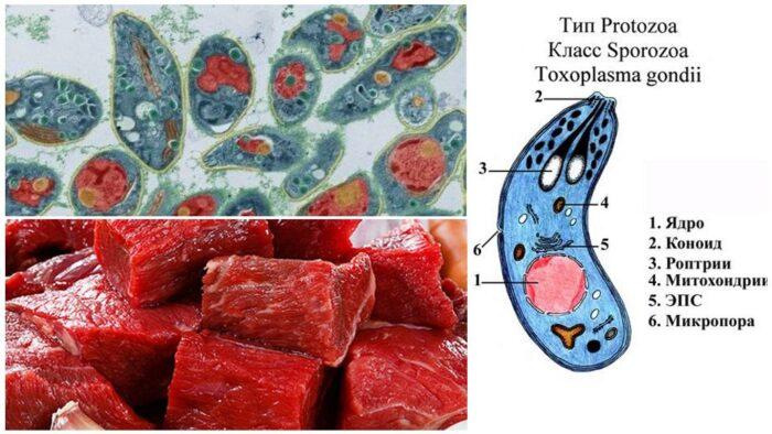 toksoplazmy-v-myase.jpg