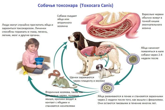 toxocaroz-schenki.jpg