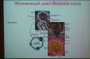 tsikl-razmnozheniya-babezij-300x198.png