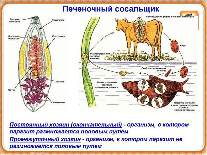 tsikl-razvitiya-pechenochnogo-sosalshhika.jpg
