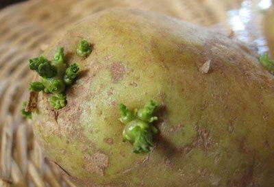 Зеленый проросший картофель