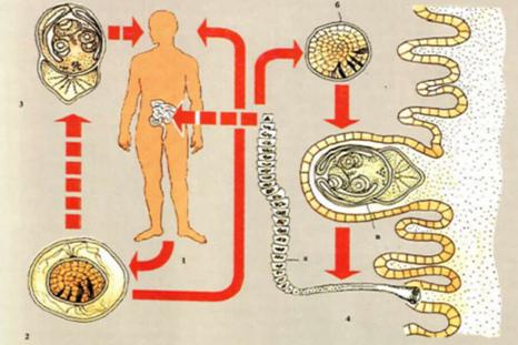 жизненный-цикл-червя.jpg