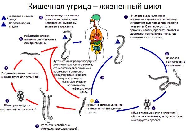 zhiznennyy_cikl_kishechnoy_ugricy.jpg